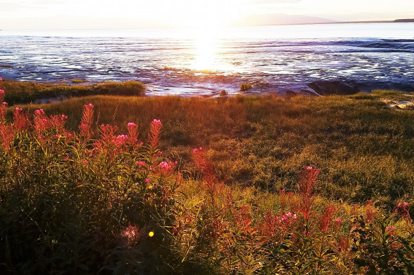 Sunset over Turnagain Arm in Anchorage, Alaska with blooming fireweed in foreground.